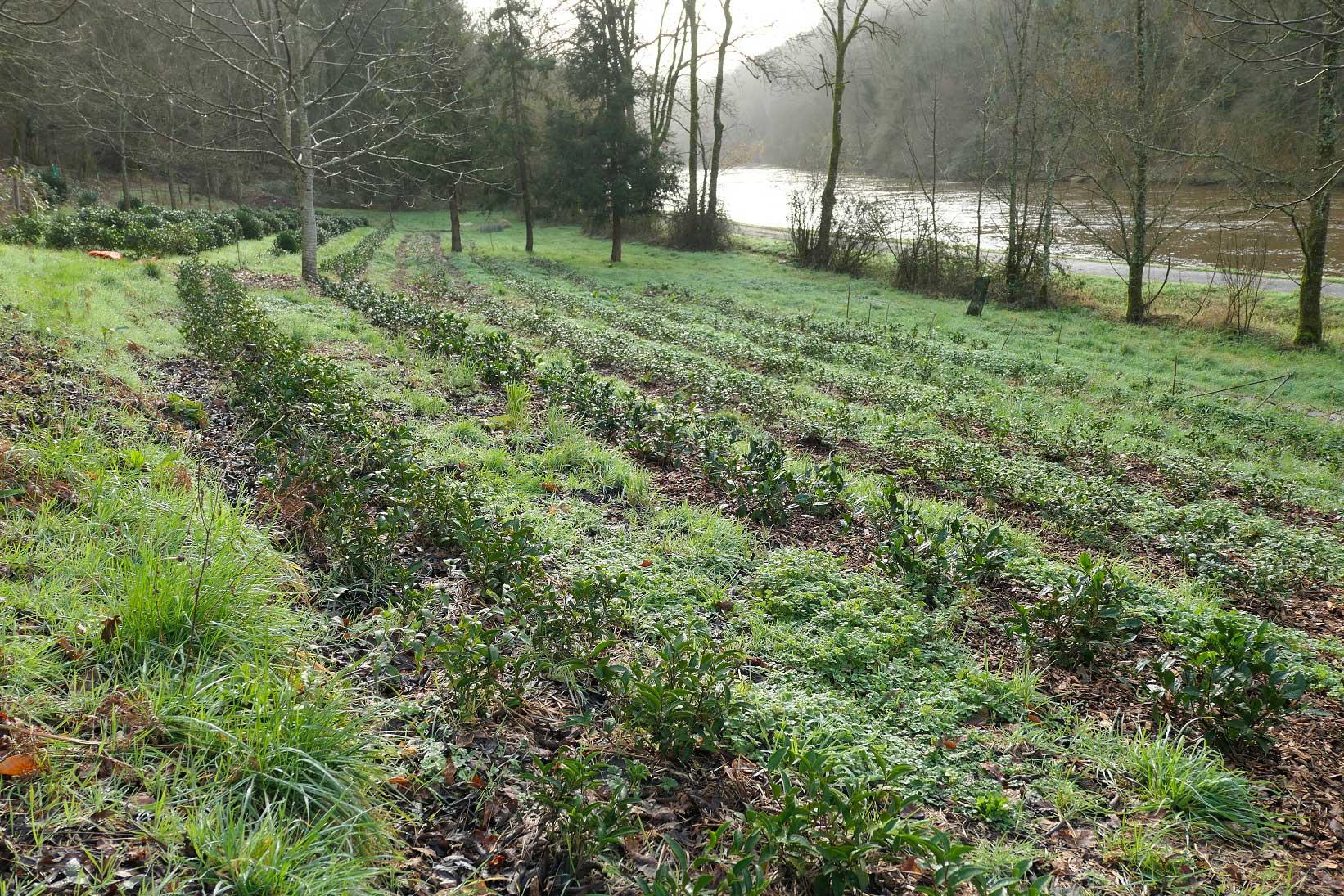 Parcelle de théiers en Bretagne à adopter